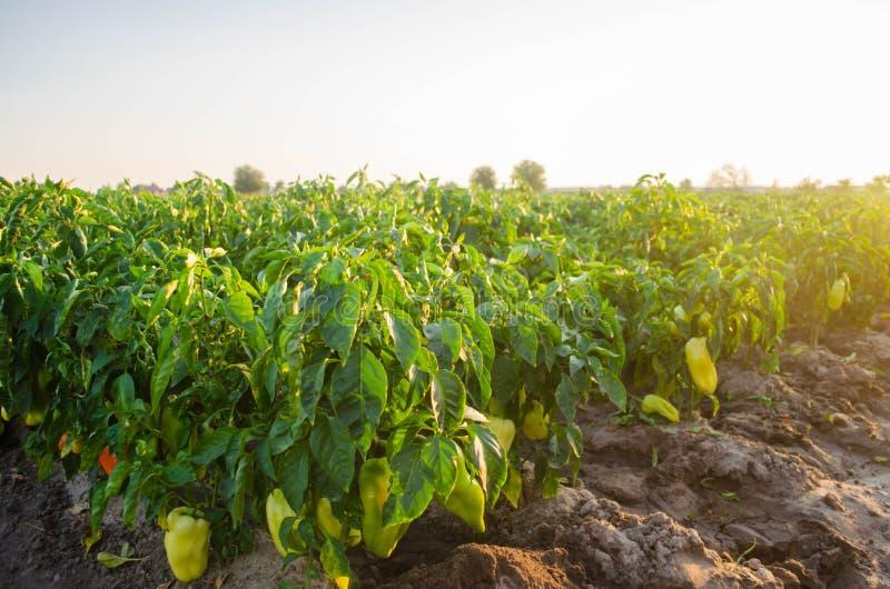 Les plantations du poivre se développent dans le domaine rangées végétales Agriculture, agriculture Paysage avec la terre agricol photographie stock