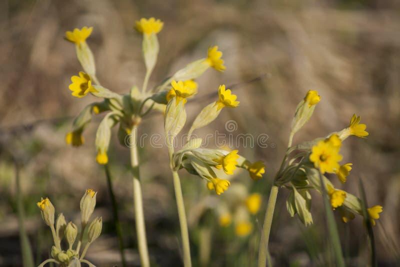 Les plantes médicinales jaunissent des fleurs de veris de primevère de primevères au soleil photo stock