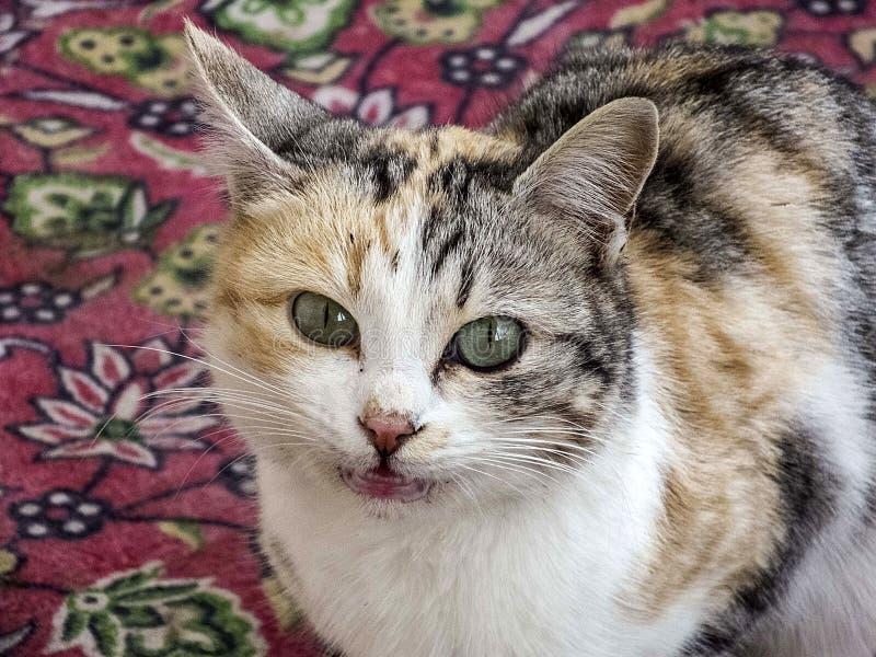 Les plots réflectorisés les plus beaux, étroitement les yeux différentes et originales de chat des photos de chat, images stock