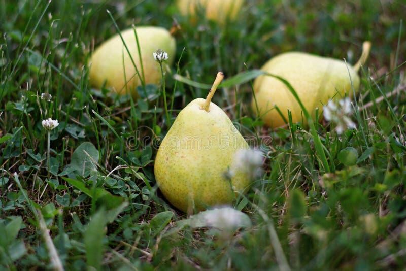 Les poires jaunes se trouvent sur l'herbe verte photographie stock
