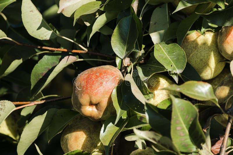 Les poires juteuses mûres accrochent sur l'arbre parmi le feuillage vert images libres de droits