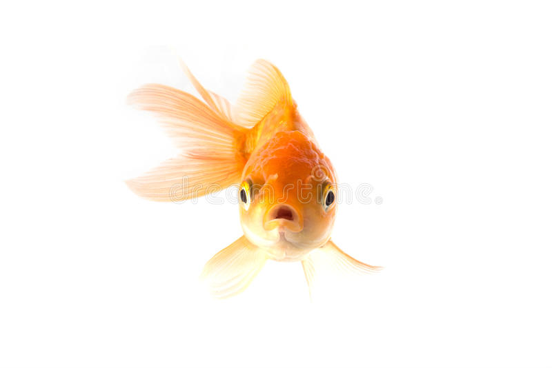 Les poissons d'or de koi ont effrayé d'isolement sur le fond blanc photos stock