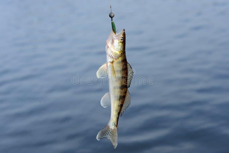 Les poissons de brochets vairons photos libres de droits