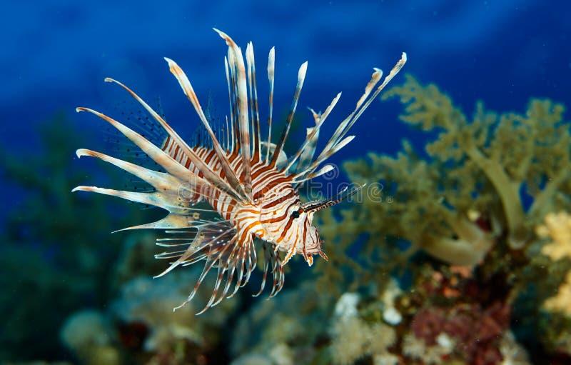 Les poissons de lion en rouge voient images stock