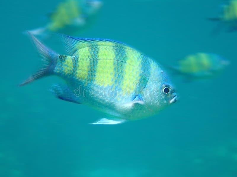 Les poissons de saxatilis d'Abudefduf photographie stock libre de droits