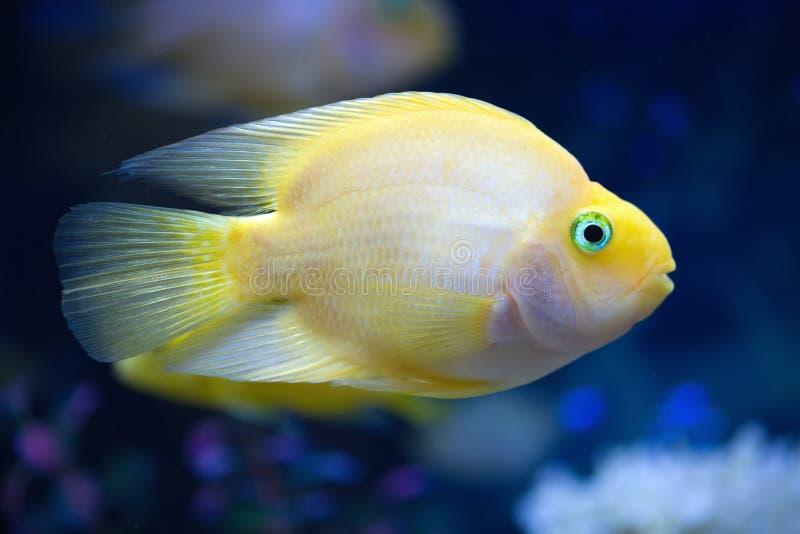 Les poissons exotiques jaunes nagent dans la vue de côté profonde de l'eau bleue photographie stock