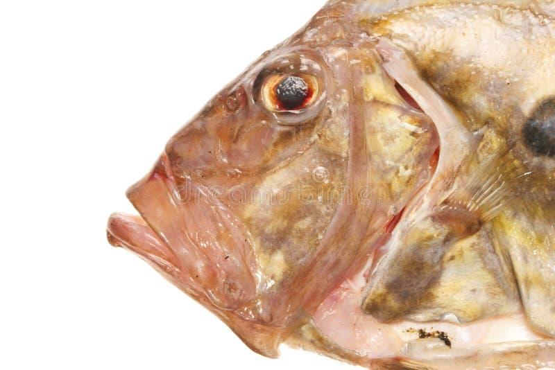 Les poissons font face étroitement vers le haut photographie stock libre de droits
