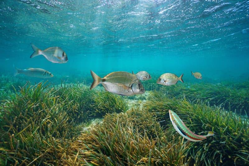 Les poissons méditerranéens immergent avec l'herbe de mer de neptune images libres de droits
