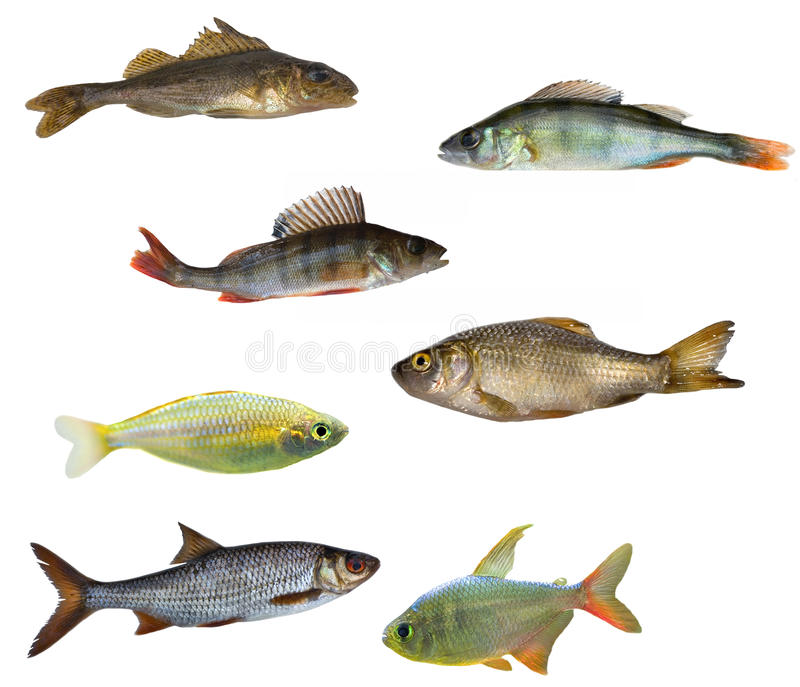 les poissons ont isolé sept photo stock