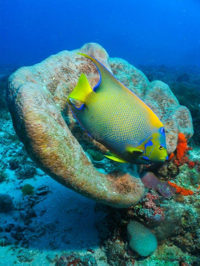 Les poissons Pedra sous-marin DA Risca d'ange font Meio photos stock