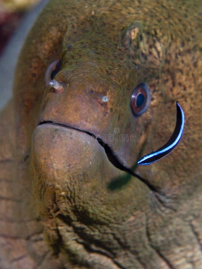 Les poissons que nous semblons sous-marins en Maldives, comme il étrange regarde photographie stock libre de droits