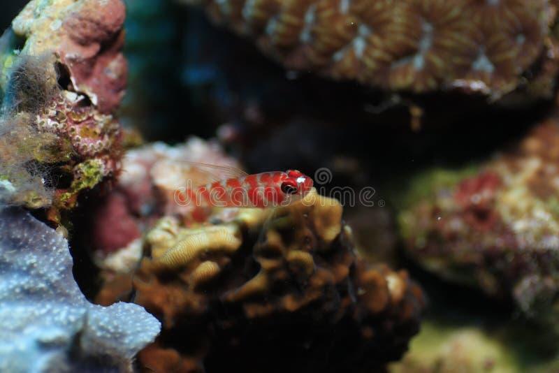 Les poissons rouges minuscules ont vécu en récif coralien images stock