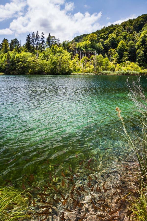 Les poissons sauvages nagent dans un lac de forêt avec des cascades Plitvice, parc national, Croatie photographie stock libre de droits