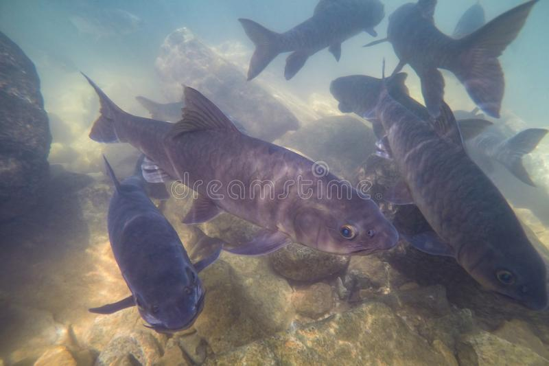 Les poissons sous-marins, bavure de Mahseer, poisson vivent dans diverses cascades en parc national de Namtok Phlio, Chanthaburi, photo stock
