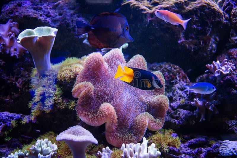 Les poissons tropicaux nagent près du récif coralien Cents dollars photo libre de droits