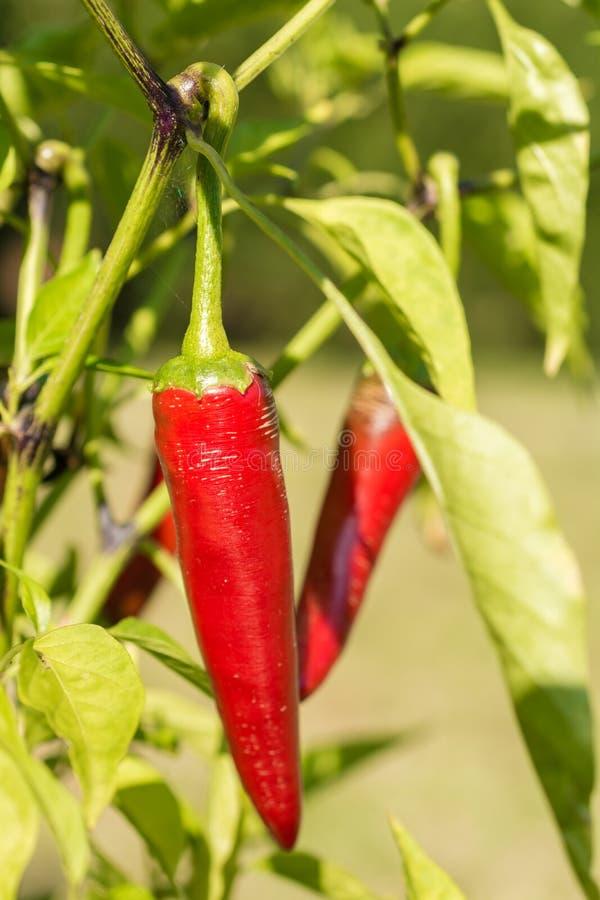 Les poivrons de piment se développent mûrs dans leur propre jardin image stock