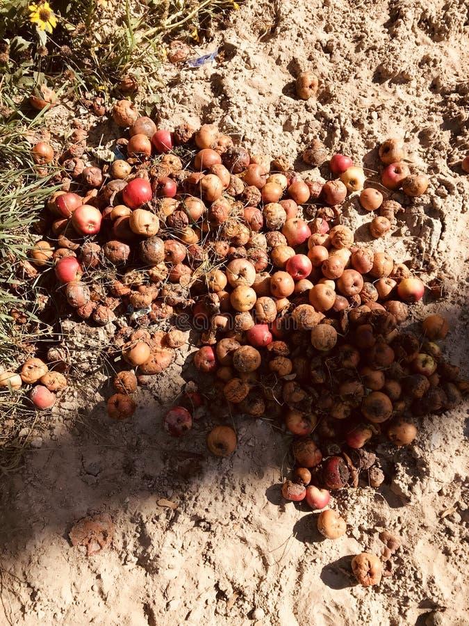 Les pommes de route se reposent au soleil et se décomposent lentement pendant que l'été se tourne vers l'automne images stock