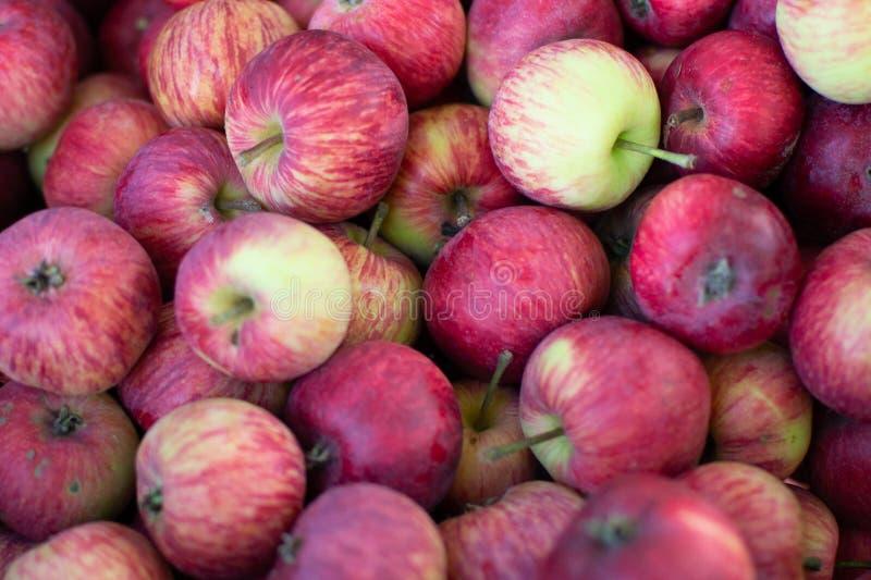 Les pommes fraîches des grands-mères font du jardinage photographie stock