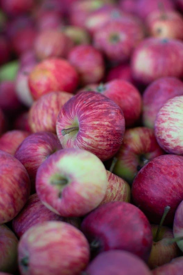 Les pommes juteuses des grands-mères font du jardinage photos stock