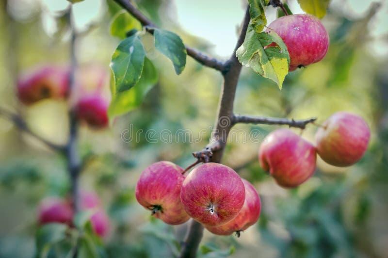 Download Les Pommes Se Développent Dans Le Jardin Image stock - Image du groupe, collecte: 77153915