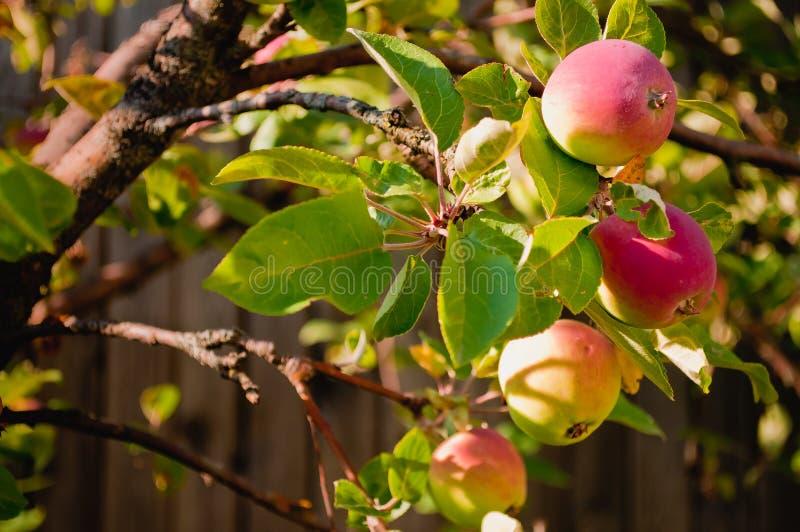 Les pommes sur l'arbre photos stock