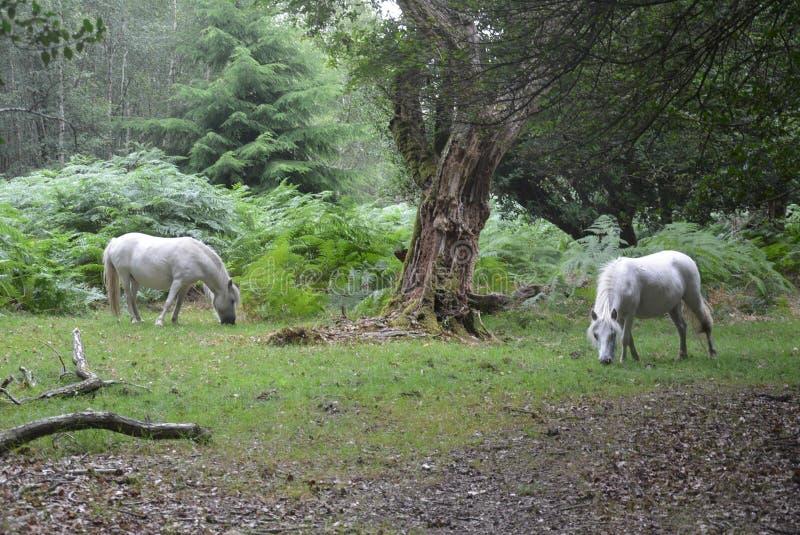 Les Poneys sauvages de la Nouvelle Forêt images libres de droits