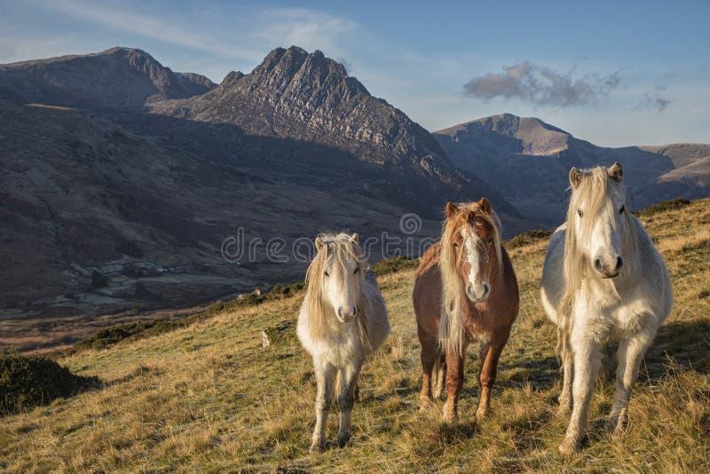 Les poneys sauvages du massif des Carneddau photos stock