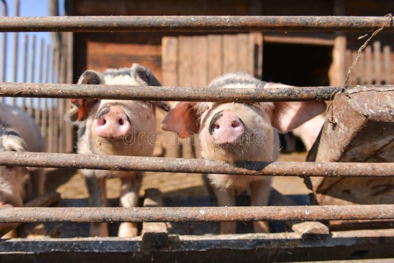 Les porcs curieux à la cage, sort leur nez par la barrière images stock