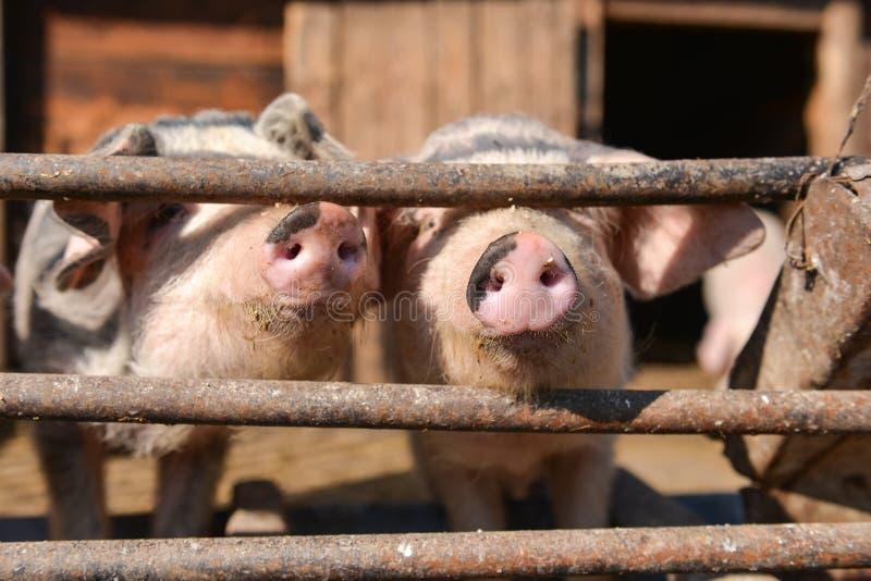 Les porcs curieux à la cage, sort leur nez par la barrière photos stock