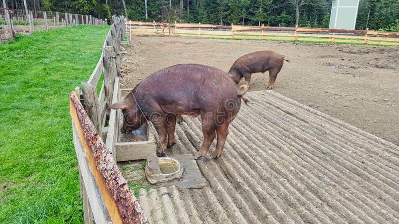 les porcs dans une rencontre mangent photos libres de droits