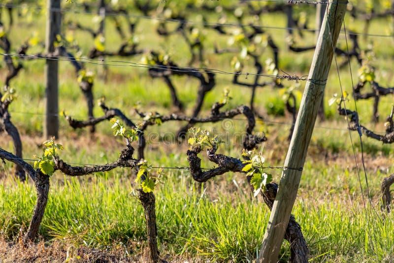Les poteaux en bois avec le fil ?tir? en m?tal soutiennent le vignoble dans le jour ensoleill? Agriculture de vignobles au printe photo libre de droits