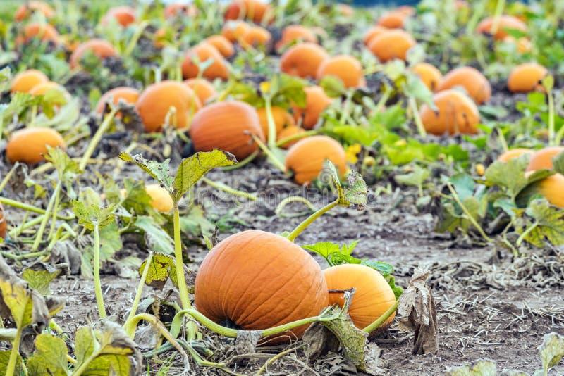 Les potirons oranges vibrants frais se situant dans la correction de potiron mettent en place, lisent photo libre de droits