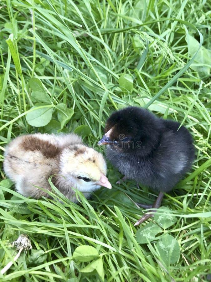 Les poulets pelucheux doux se reposent sur l'herbe verte photos stock