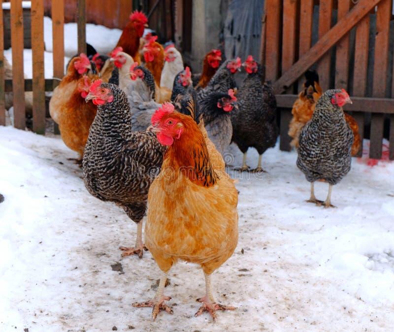 Les poulets sont dans une cour images stock