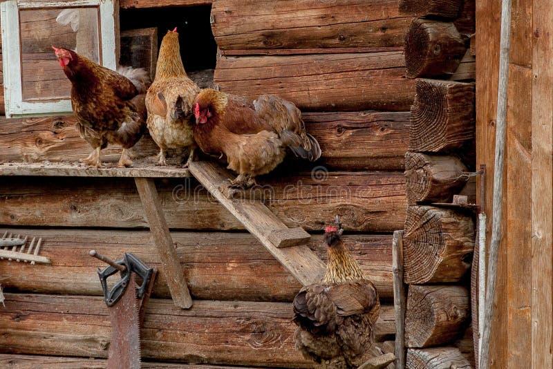 Les poulets vont au poulailler les poulets sort du poulailler image libre de droits