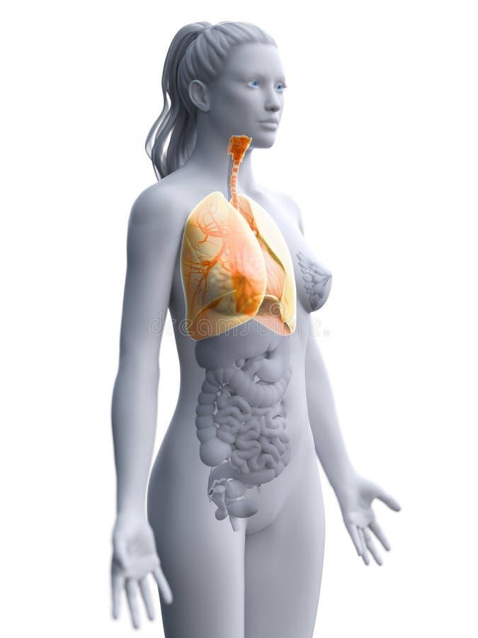 Les poumons d'une femme illustration libre de droits