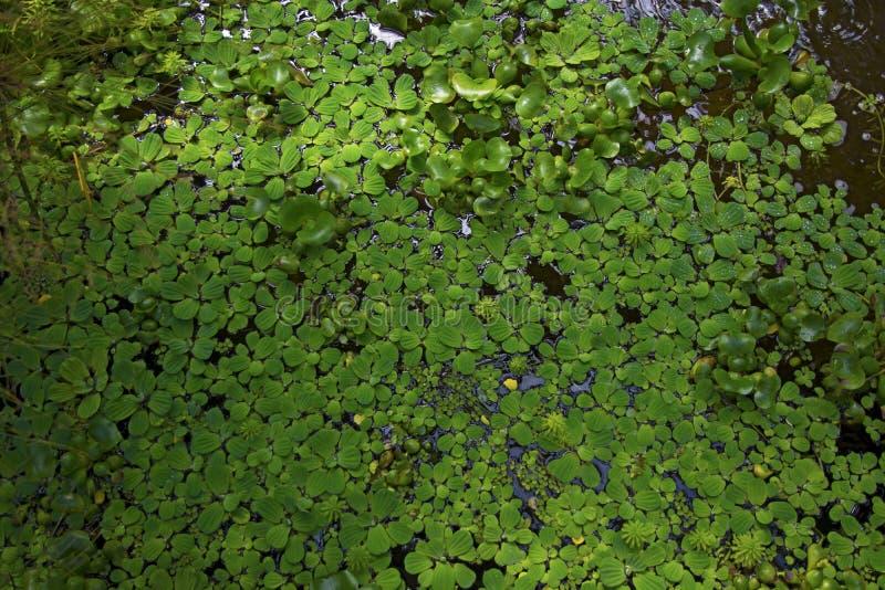 Les pousses épaisses de vert dans l'eau, une pluralité de feuilles ont enduit de l'eau image stock