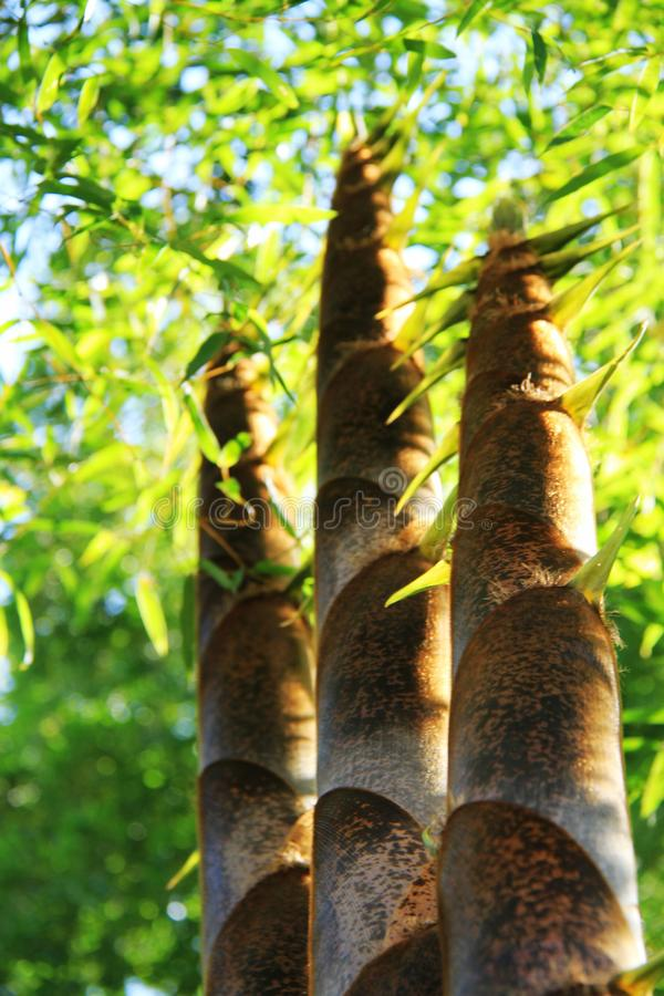 Les pousses de bambou images libres de droits
