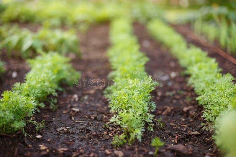 Les pousses de jeunes carottes se développent sur un lit de jardin photographie stock