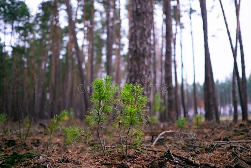 Les pousses de pin font leur manière au soleil parmi les aiguilles tombées photos libres de droits