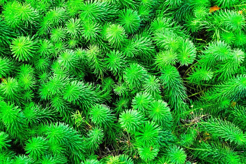 Les pousses des cyparissias d'euphorbe, le spurge de cyprès, est des espèces d'usine dans le genre euphorbe image stock