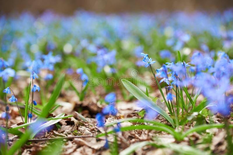 Les premières fleurs bleues Scilla se développe en premier ressort dans la forêt image libre de droits