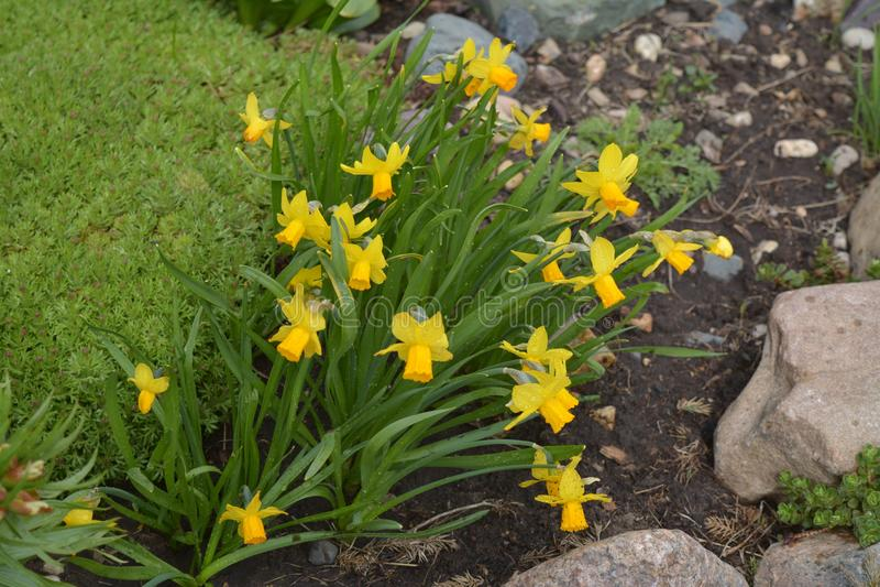 Les premières fleurs de ressort, belles jonquilles photo stock