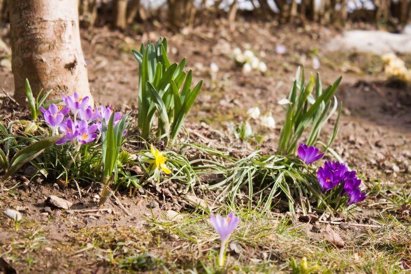 Les premières fleurs du ressort image libre de droits