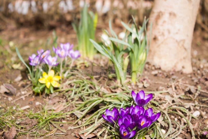 Les premières fleurs du ressort images libres de droits