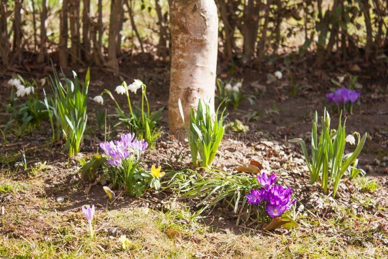 Les premières fleurs du ressort images stock