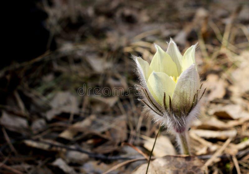 Les premi?res fleurs de ressort du crocus de prairie, fleur de Pasque, an?mone de prairie, fum?e de prairie, patens de Pulsatilla images libres de droits