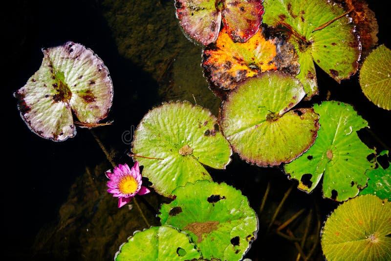 Les protections de lis de mort dans un étang avec l'insecte endommagent photo libre de droits