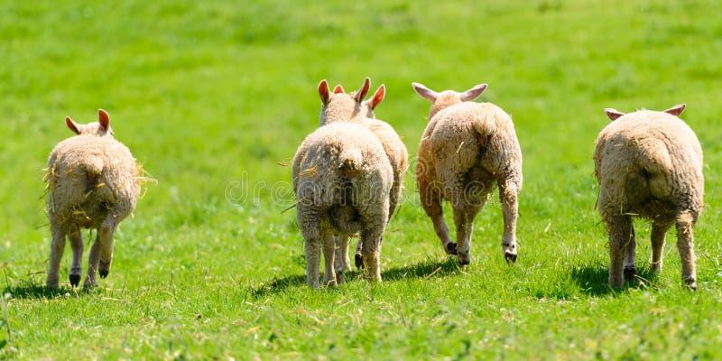 Les quatre fonds des agneaux image stock