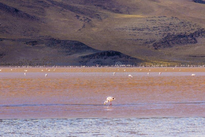 Les réflexions d'Uyuni sont l'une des choses les plus étonnantes qu'un photographe peut voir Ici nous pouvons voir comment le lev photographie stock libre de droits